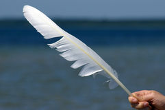 Swan Feather. Feather of swan found near seaside Stock Images