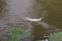 Swan feather floating in a pond Stock Photo