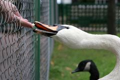 Swan feeding Royalty Free Stock Photo