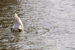 Swan Feeding in Lake Royalty Free Stock Photos
