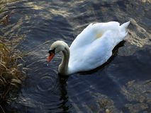 Swan, feeding, resting royalty free stock photo