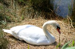 Swan female in the nest while brooding her eggs Stock Image