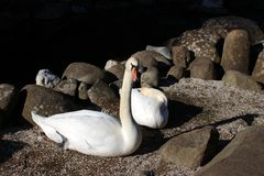 Swan fidelity. Together forever. royalty free stock photos