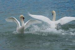 Swan fight - Lake Geneva - Switzerland. Swan Lake Ballet - A couple of swans confront each other in an elegant way - Lac Léman (Lake Geneva Royalty Free Stock Photos