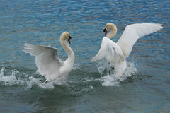 Swan fight - Lake Geneva - Switzerland. Swan Lake Ballet - A couple of swans confront each other in an elegant way - Lac Léman (Lake Geneva Royalty Free Stock Images