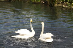 Swan Fight Royalty Free Stock Photo