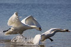 Swan Fighting and taking off Royalty Free Stock Photo