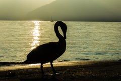 Swan Stock Photos