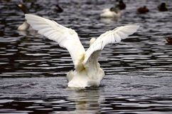 A swan flapping Stock Photo