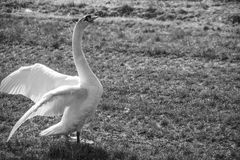 Swan flapping Royalty Free Stock Images