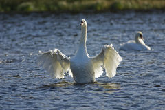 Swan flapping its wings Stock Photos