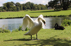 Swan flapping its wings. Swan in Grounds of Leeds Castle flappingwings Royalty Free Stock Photography