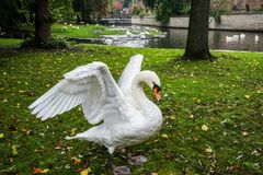 Swan Flapping its Wings. Near a lake in Bruges, Belgium royalty free stock photography
