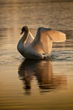 Swan flapping in the sunset Royalty Free Stock Image