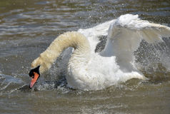 Swan flapping wings at Abbotsbury Swannery Stock Images