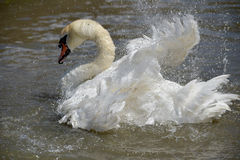 Swan flapping wings at Abbotsbury Swannery Royalty Free Stock Image