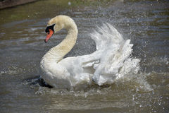 Swan flapping wings at Abbotsbury Swannery Royalty Free Stock Photography