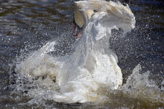 Swan flapping wings at Abbotsbury Swannery Stock Image