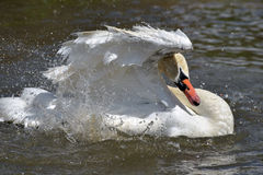 Swan flapping wings at Abbotsbury Swannery Royalty Free Stock Photo