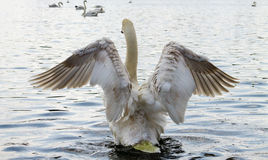 Swan, flapping wings Royalty Free Stock Images
