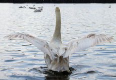 Swan, flapping wings Royalty Free Stock Photography