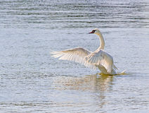 Swan Flapping Wings on Water Stock Photo