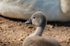 Swan fledgling sitting Royalty Free Stock Images