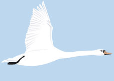 A swan flies shown in the side view. Royalty Free Stock Images
