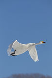 Swan In Flight Royalty Free Stock Photography