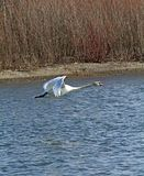 Swan in flight Royalty Free Stock Photo