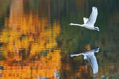Swan - flight by flames. Flight of white swans on autumn water Stock Photos
