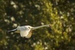 Swan in flight Royalty Free Stock Photo