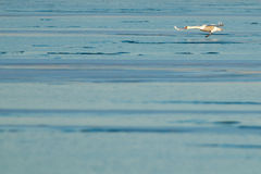 Swan in flight over ice Stock Photography