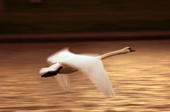 Swan in flight over lake Stock Image