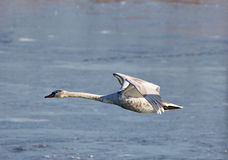 Swan in flight over a river. Swan in flight over a frozen river in the winter Stock Photo