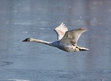 Swan in flight over a river Stock Photography