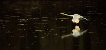 Swan in flight during sunset royalty free stock photos