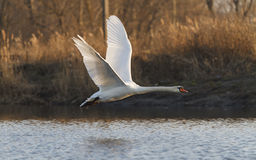 Swan in flight Royalty Free Stock Images