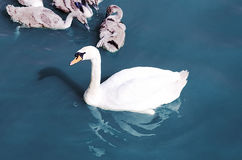 Swan float in the lake Stock Photography