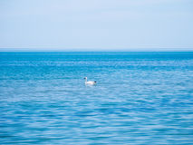 Swan floating in the blue water of the Black Sea Royalty Free Stock Photography