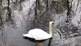 Swan floating on calm water stock footage
