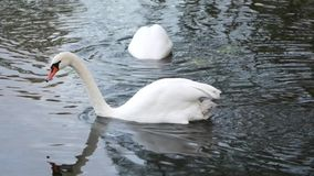 Swan floating on the lake.  stock footage