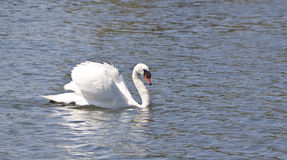 Swan floating on lake. A beautiful swan gluiding along a lake Royalty Free Stock Image