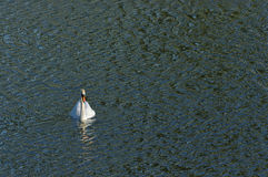 Swan floating on the lake. Swan floating on the lake on a background of waves Stock Images