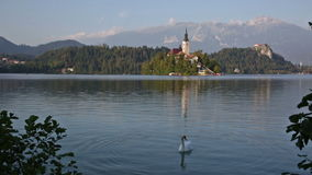 Swan floating on the lake in the early morning Bled stock video
