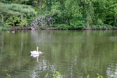 Swan floating on a lake royalty free stock photography