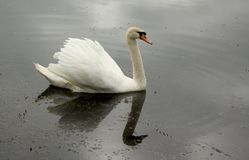 Swan. A swan floating on the morning, the gray lake Royalty Free Stock Photography