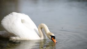 Swan floating on the river. Beautiful swan floating on the river drinking water stock video footage