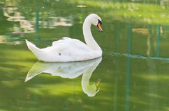 Swan is floating at small lake on a summer day Stock Images