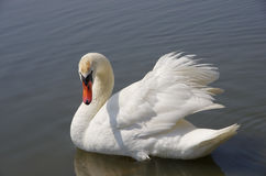 Swan floating on the water Stock Photos